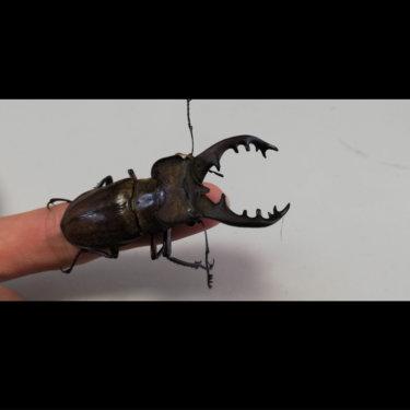 ダイソーの透明プラスチックケースは【クワガタ・昆虫飼育ケース】に最適